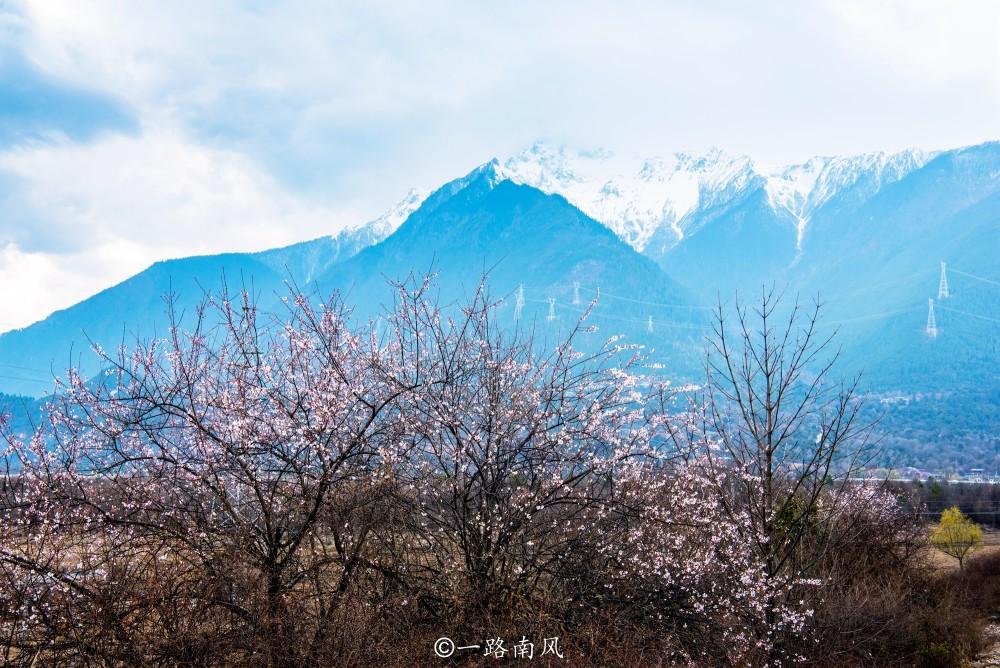 林芝桃花节一房难求,波密桃花沟成颜值担当,雪山当背景世界罕见
